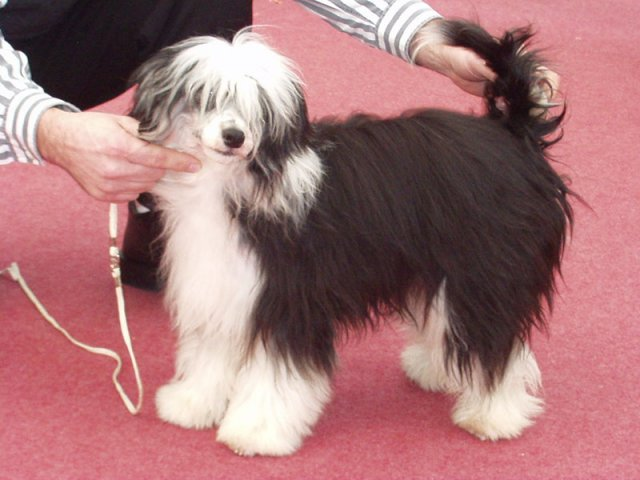 chinese crested  26
