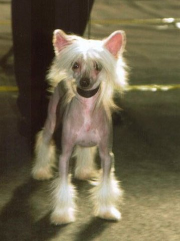 chinese crested  28