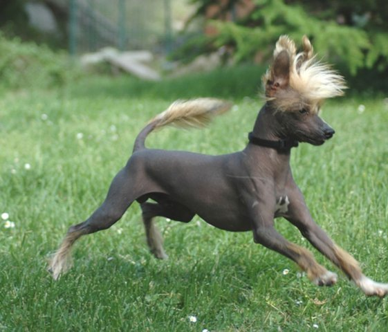 Chinese Crested 12