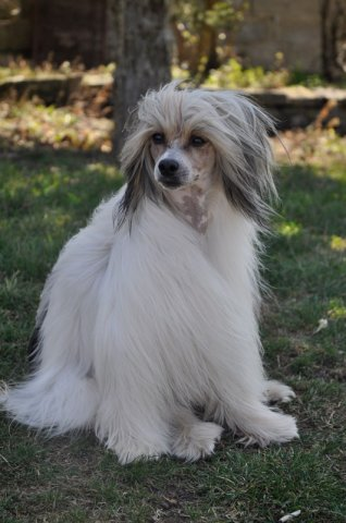 Chinese Crested 19